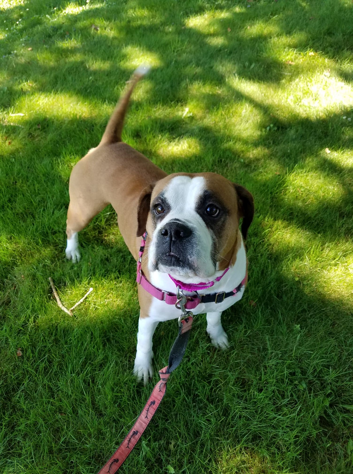 The Boxer Rescue, Inc  - Finding Boxers Homes Since 2010